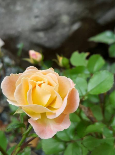 A May rose blooming in my garden